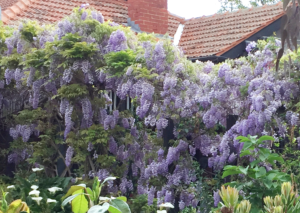Wisteria in full bloom